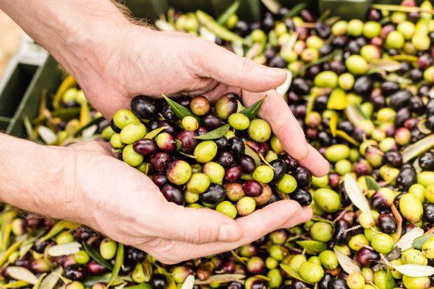 <span style='color:#8B1434;font-size:12px;'>Information Chambre d'Agriculture PACA</span><br> Récolte des olives et confinement