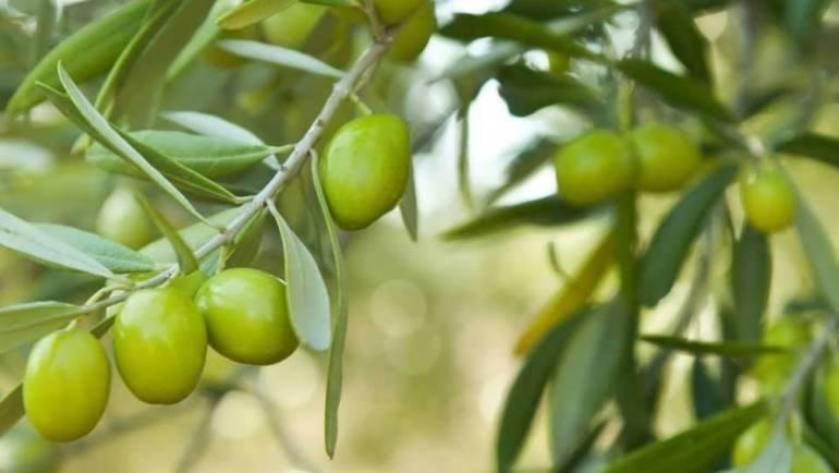 <span style='color:#8B1434;font-size:12px;'>Appel aux producteurs oléicoles</span><br> L'olivier et ses produits